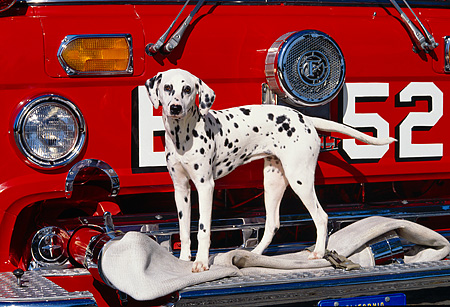 DOG 04 RK0025 09 © Kimball Stock Dalmatian Dog Standing In Front Of Red Firetruck