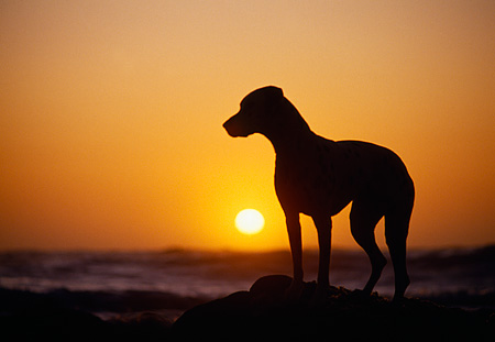 DOG 04 RK0079 11 © Kimball Stock Silhouette Shot Of Dalmatian Stanidng On Rock At Beach Sunset