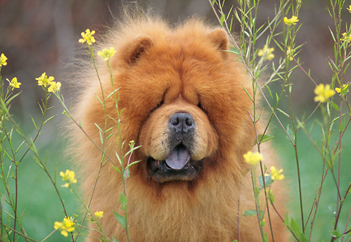 DOG 05 AB0001 01 © Kimball Stock Portrait Of Chow Chow Sitting In Yellow Flowers