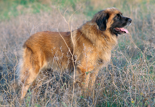 DOG 05 AB0005 01 © Kimball Stock Leonberger Standing In Dry Grass