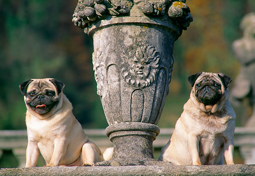 DOG 05 AB0010 01 © Kimball Stock Two Pugs Sitting By Cement Statue