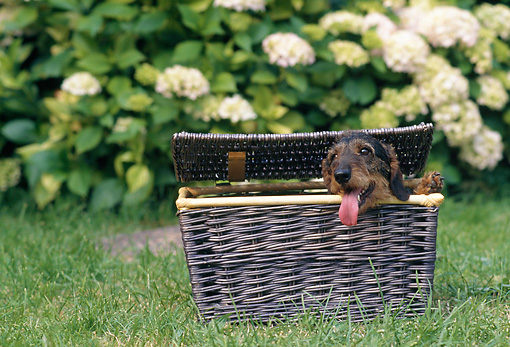 DOG 05 AB0012 01 © Kimball Stock Wirehaired Dachshund Sitting In Picnic Basket On Lawn