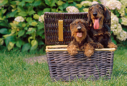 DOG 05 AB0013 01 © Kimball Stock Two Wirehaired Dachshunds Sitting In Picnic Basket On Lawn