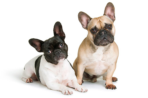 DOG 05 AC0011 01 © Kimball Stock French Bulldogs Male And Female In Studio