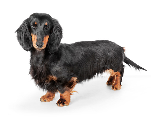 DOG 05 BK0001 01 © Kimball Stock Dachshund Standing On White Seamless