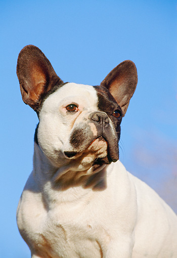 DOG 05 CB0011 01 © Kimball Stock Portrait Of French Bulldog Sitting Against Blue Sky