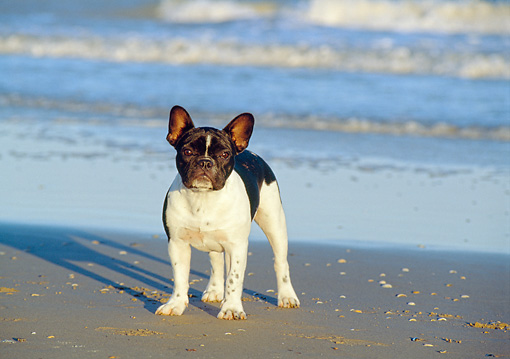 DOG 05 CB0013 01 © Kimball Stock French Bulldog Standing On Beach