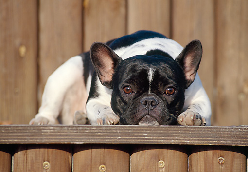 DOG 05 CB0014 01 © Kimball Stock French Bulldog Resting On Wooden Deck