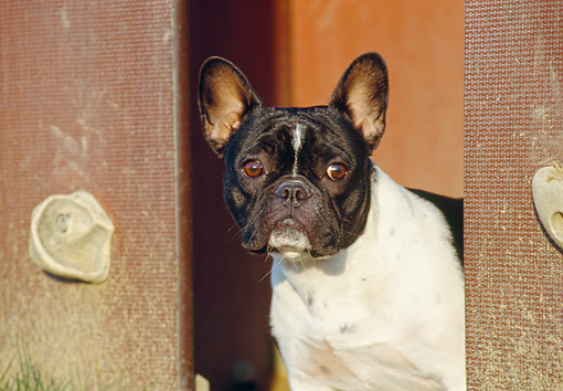 DOG 05 CB0015 01 © Kimball Stock Close-Up Of French Bulldog Standing Near Wall