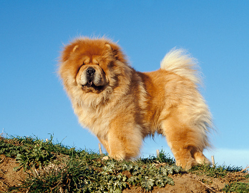 DOG 05 CB0017 01 © Kimball Stock Chow Chow Standing On Grass