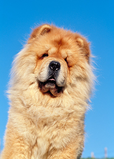 DOG 05 CB0018 01 © Kimball Stock Portrait Of Chow Chow Against Blue Sky