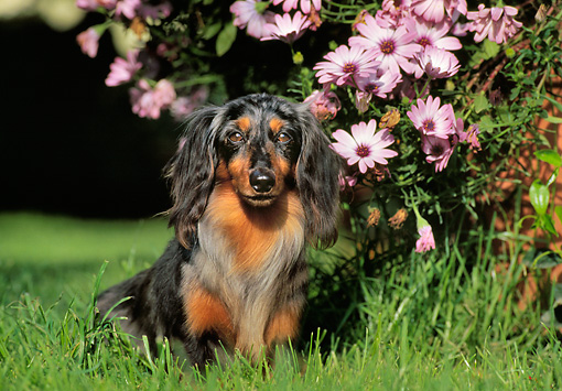 DOG 05 CB0022 01 © Kimball Stock Long-Haired Dachshund Sitting On Grass By Pink Flowers