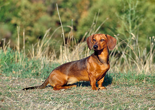 DOG 05 CB0025 01 © Kimball Stock Smooth Coat Dachshund Sitting On Grass