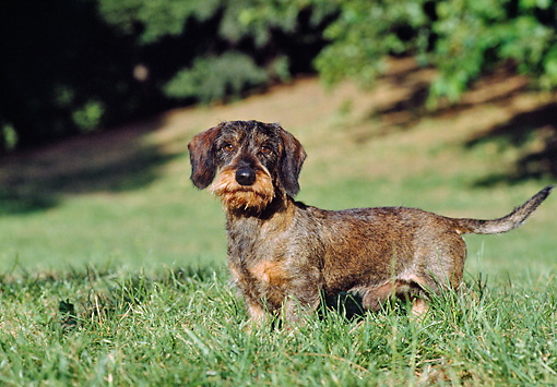 DOG 05 CB0026 01 © Kimball Stock Wirehaired Dachshund Standing On Grass