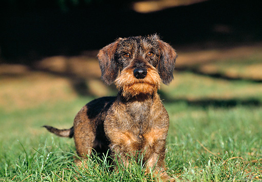 DOG 05 CB0027 01 © Kimball Stock Wirehaired Dachshund Standing On Grass