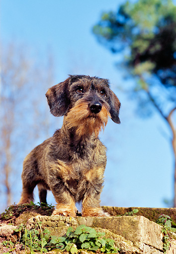 DOG 05 CB0029 01 © Kimball Stock Wirehaired Dachshund Standing On Old Bricks