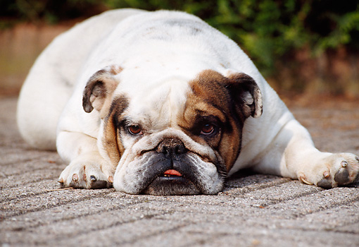 DOG 05 CB0030 01 © Kimball Stock Close-Up Of English Bulldog Resting On Pavement