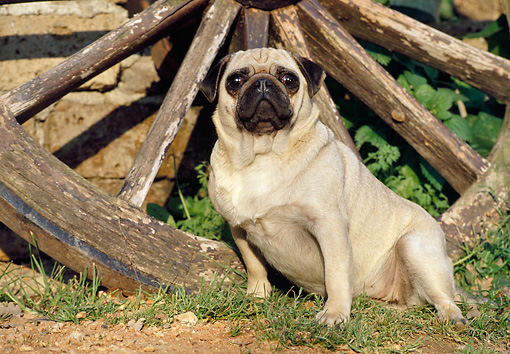 DOG 05 CB0045 01 © Kimball Stock Pug Sitting By Old Wagon Wheel