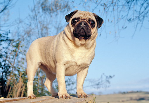 DOG 05 CB0049 01 © Kimball Stock Pug Standing On Wooden Deck