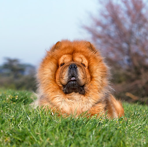 DOG 05 CB0057 01 © Kimball Stock Chow Chow Laying On Grass