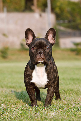 DOG 05 CB0073 01 © Kimball Stock Portrait Of French Bulldog Standing On Grass