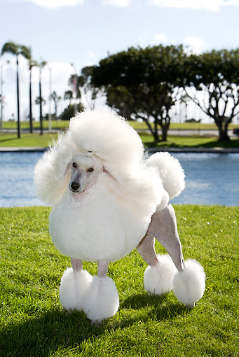 DOG 05 CB0075 01 © Kimball Stock Miniature Poodle Standing On Grass By Water