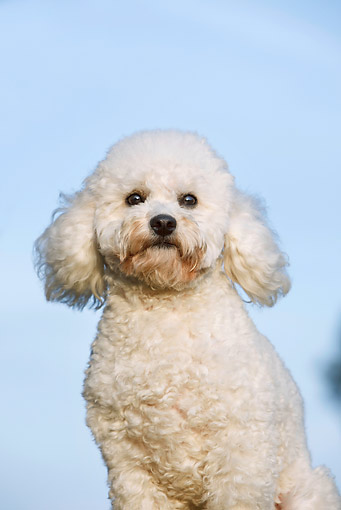DOG 05 CB0095 01 © Kimball Stock Portrait Of Toy Poodle Against Blue Sky