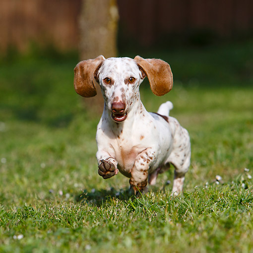 DOG 05 CB0100 01 © Kimball Stock Dachshund Running On Grass