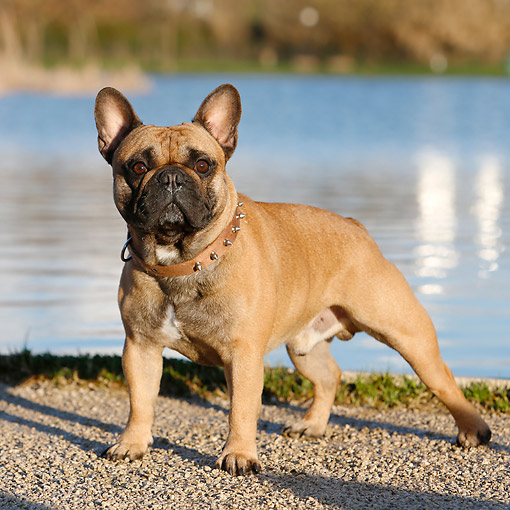 DOG 05 CB0110 01 © Kimball Stock French Bulldog Standing By Water