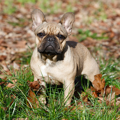 DOG 05 CB0115 01 © Kimball Stock French Bulldog Standing Grass