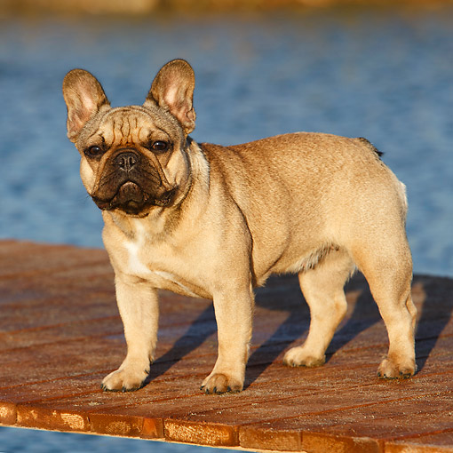 DOG 05 CB0116 01 © Kimball Stock French Bulldog Standing On Dock By Water