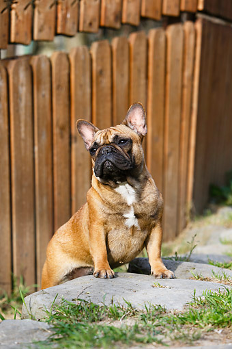 DOG 05 CB0120 01 © Kimball Stock French Bulldog Standing By Fence