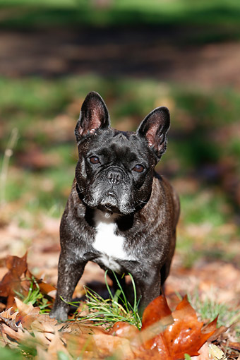 DOG 05 CB0122 01 © Kimball Stock French Bulldog Standing In Leaves