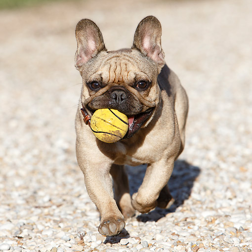DOG 05 CB0124 01 © Kimball Stock French Bulldog Holding Tennis Ball