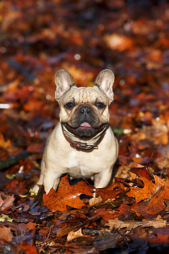 DOG 05 CB0125 01 © Kimball Stock French Bulldog Sitting In Autumn Leaves