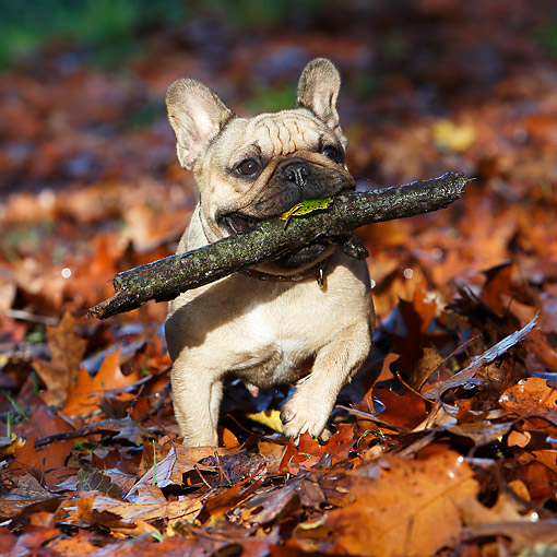 DOG 05 CB0126 01 © Kimball Stock French Bulldog Holding Stick In Autumn Leaves