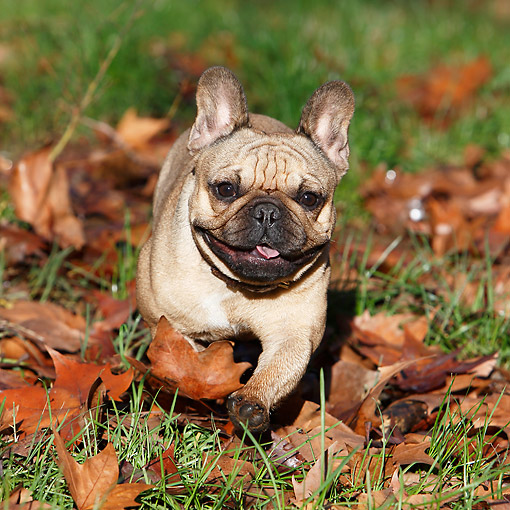 DOG 05 CB0127 01 © Kimball Stock French Bulldog Running Through Grass And Autumn Leaves