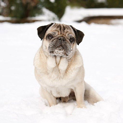 DOG 05 CB0136 01 © Kimball Stock Pug Sitting In Snow