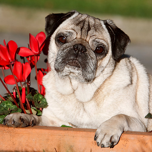 DOG 05 CB0139 01 © Kimball Stock Pug Laying In Box With Flowers