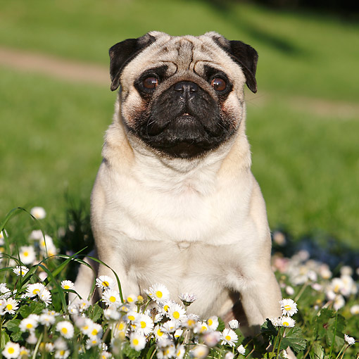 DOG 05 CB0149 01 © Kimball Stock Pug Sitting In Grass With Flowers