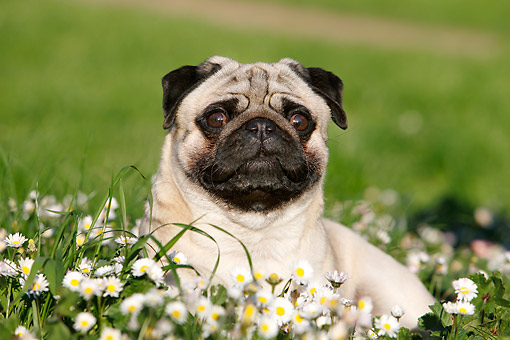 DOG 05 CB0150 01 © Kimball Stock Pug Laying In Grass With Flowers