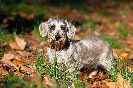 DOG 05 CB0168 01 © Kimball Stock Wirehaired Dachshund Standing In Grass And Leaves