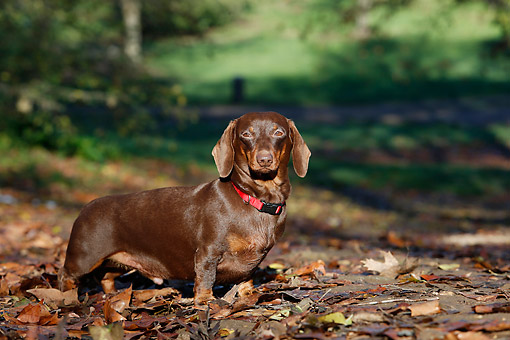 DOG 05 CB0169 01 © Kimball Stock Dachshund Standing In Leaves