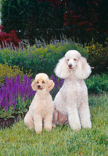 DOG 05 CE0040 01 © Kimball Stock Standard Poodle And Miniature Poodle Sitting On Grass By Purple Flowers