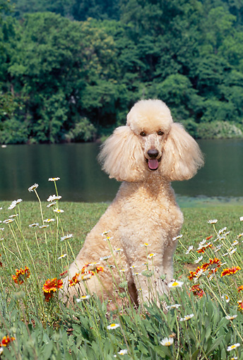 DOG 05 CE0043 01 © Kimball Stock Standard Poodle Sitting In Grass By Flowers And Lake