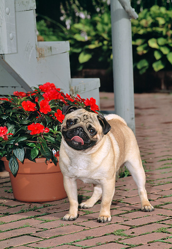 DOG 05 CE0054 01 © Kimball Stock Pug Standing On Brick Patio By Red Flowers