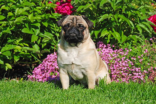 DOG 05 DB0001 01 © Kimball Stock Pug Sitting In Grass By Flowers