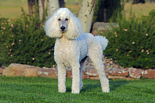 DOG 05 DB0008 01 © Kimball Stock Poodle Standing In Grass By Tree