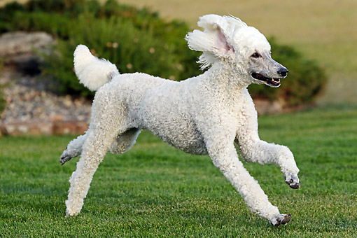 DOG 05 DB0010 01 © Kimball Stock Poodle Running In Grass