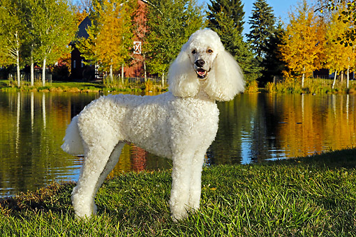 DOG 05 DB0013 01 © Kimball Stock Poodle Standing By Pond On Farm